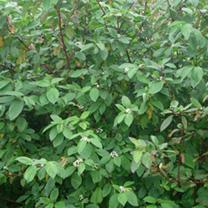 Cornus alba Sibirica Bare Roots