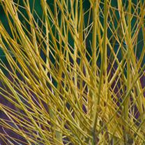 Cornus Stolonifera Flaviramea Bare Roots - 60-90cm