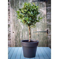 Bay Tree - Twisted Stem Standard 17cm 60-70cm x 2