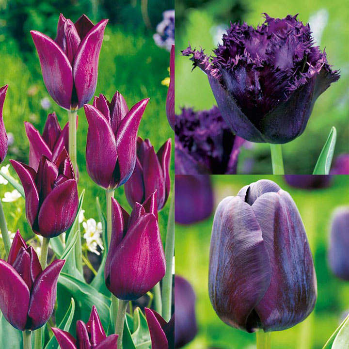 Tulip Bulbs - Black Collection