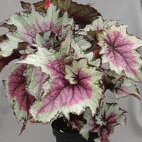 Begonia Plant - Pink Twist