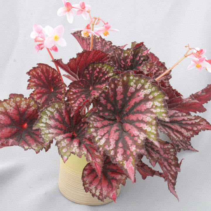 Begonia Plant - Star Bright