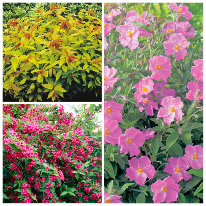 Summer Flowering Shrub Collection