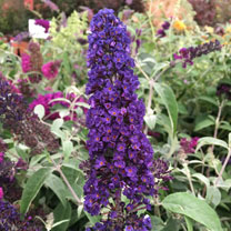 Buddleja Plant - Black Knight