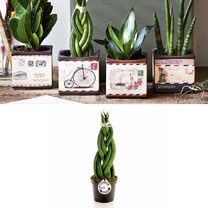 Airmail Pot + Free Sansevieria Cylindrica Braid 9cm Plant