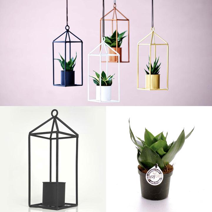 Greenhouse Black + Free 6cm Plant