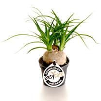 Beaucarnea Recurvata Plant - 9cm