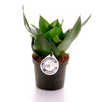 Sansevieria Trifacciata Black Jade Plant - 6cm