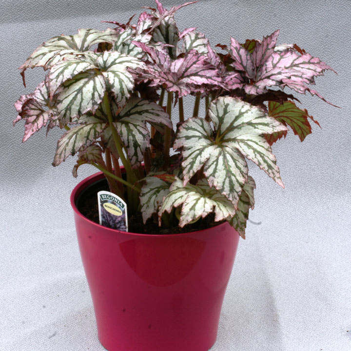 Begonia Plant - Benichoma