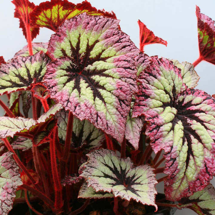 Begonia Plant - Fireworks