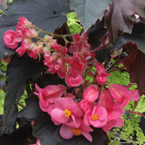 Image of Begonia Plant - Flo Belle Moseley