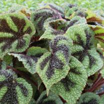 Begonia Plant - Masoniana