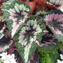Begonia Plant - Merry Christmas