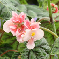 Begonia Plant - Metallica
