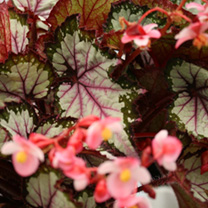 Begonia Plant - My Best Friend