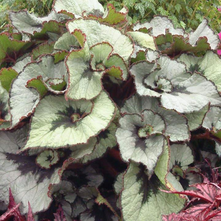 Begonia Plant - Namur