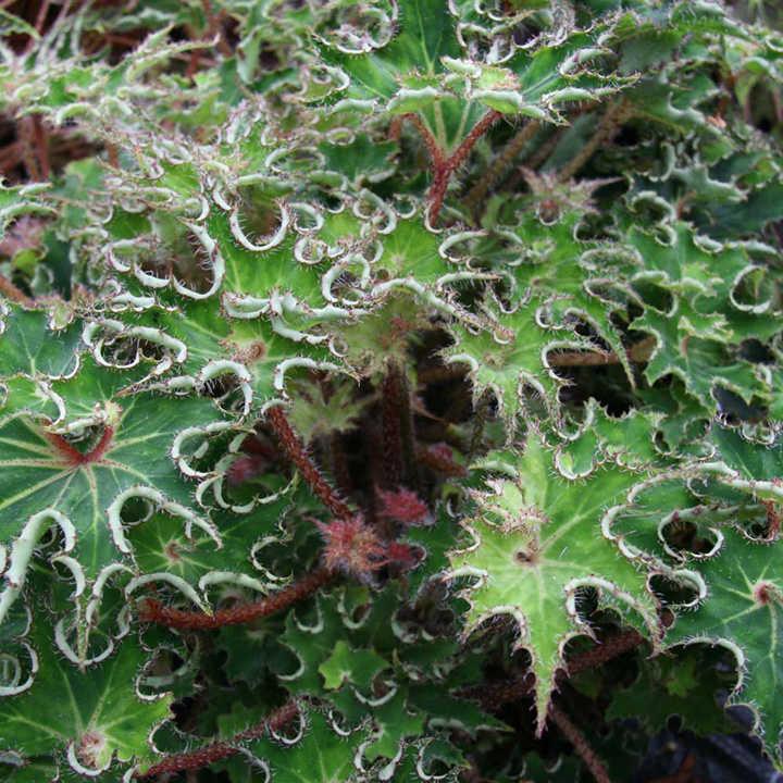 Begonia Plant - Sea Urchin