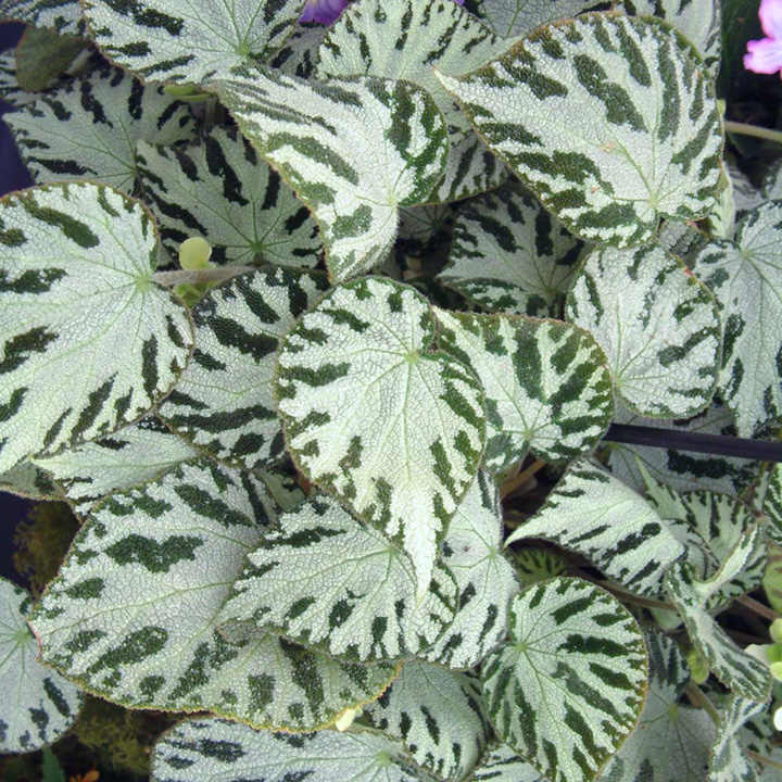Begonia Plant - Silver Jewel