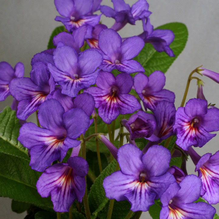 Streptocarpus Plant - Tanya