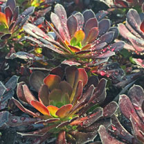 Image of Aeonium Plant - Tip Top