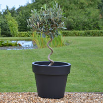 Olive Twisted Stem Plant + Grey Pot