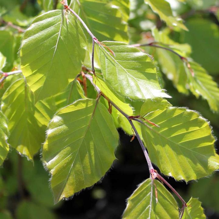 Fagus sylvatica Potted Plants