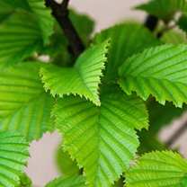 Carpinus betulus Potted Plants
