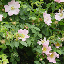 Rosa canina Bare Roots - 60-90cm