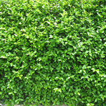 Ligustrum Ovalifolium Potted Plants - 60cm+ x 20