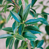 Ligustrum vulgare Bare Roots