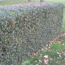 Ilex aquifolium Plants - 20 x 5 Litre Pots