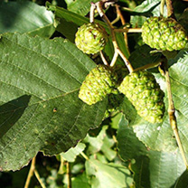 Alnus glutinosa Bare Roots - 40-60cm