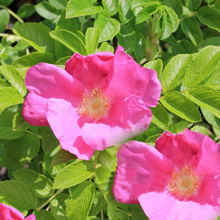 Rosa rugosa Bare Roots - Pink