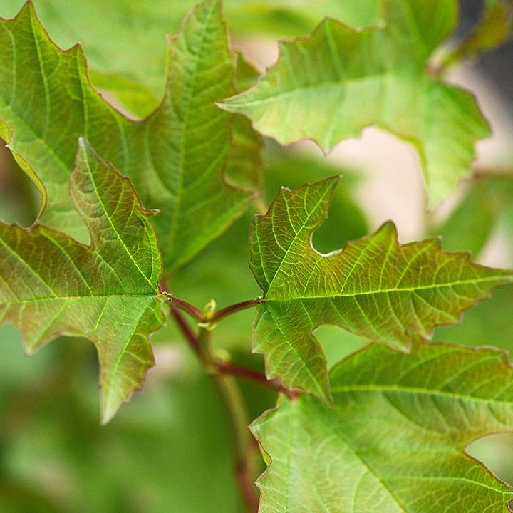 Viburnum opulus Bare Roots