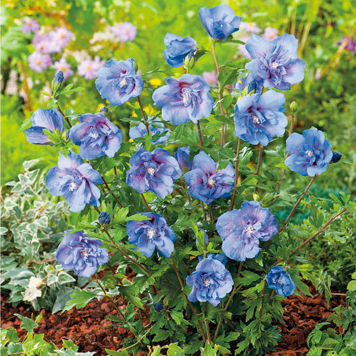 Hibiscus Plant - Blue Chiffon