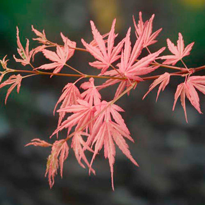 Acer palmatum Plant - Taylor