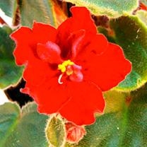 Saintpaulia Plant - Dibleys Kaarina