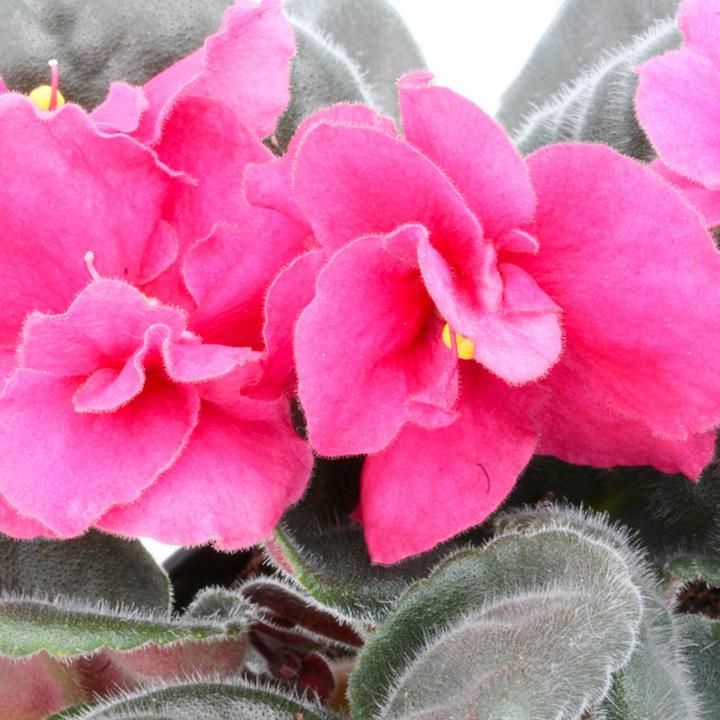 Saintpaulia Plant - Otoe