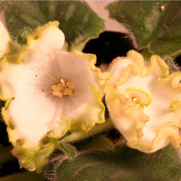 Saintpaulia Plant - Parnikovyi Effekt