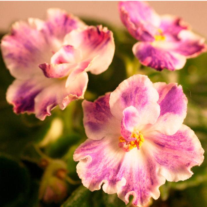 Saintpaulia Plant - Podvenechnaia