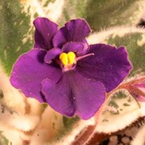 Saintpaulia Plant - Sapphire Halo