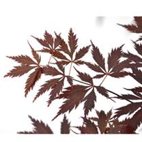 Acer Palmatum Plant - Black Lace