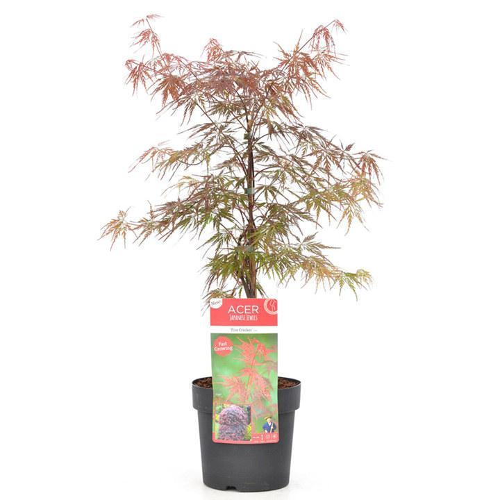 Acer Palmatum Plant - Firecracker
