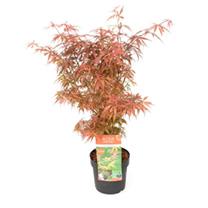 Acer Palmatum Plant - Jerre Schwartz