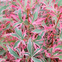 Acer palmatum Plant - Marlo