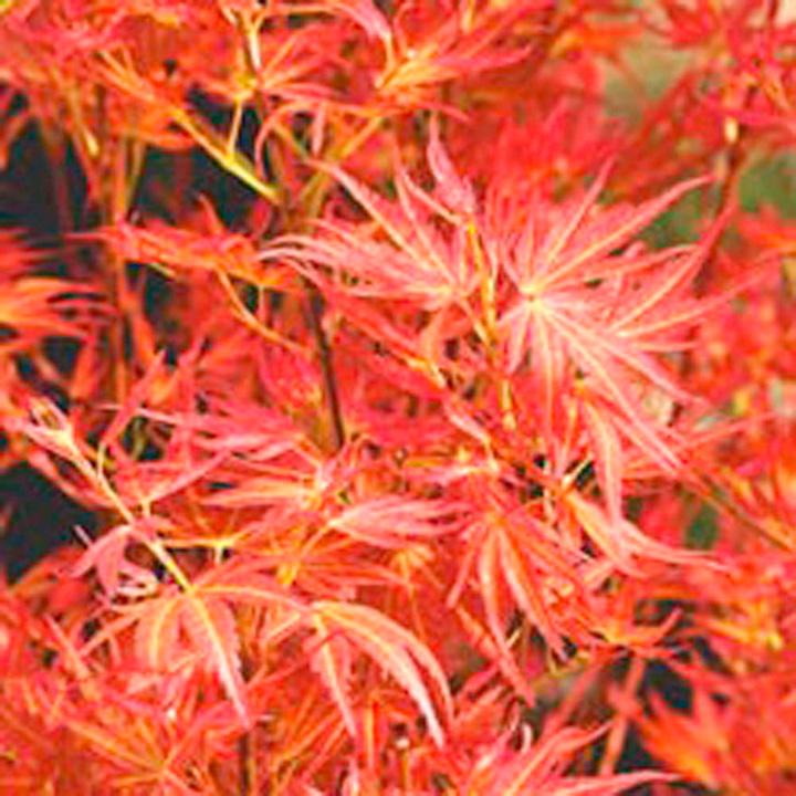 Acer palmatum Plant - Wilsons Pink Dwarf