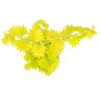 Acer shirasawanum Plant - Aureum