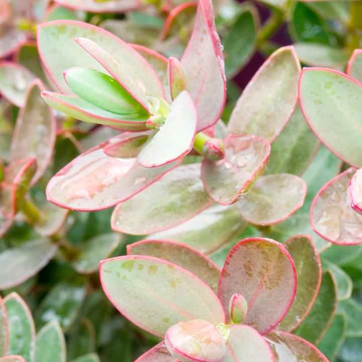 Hebe Plant - Red Edge