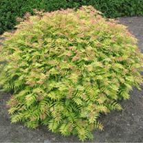 Sorbaria Plant - Sem
