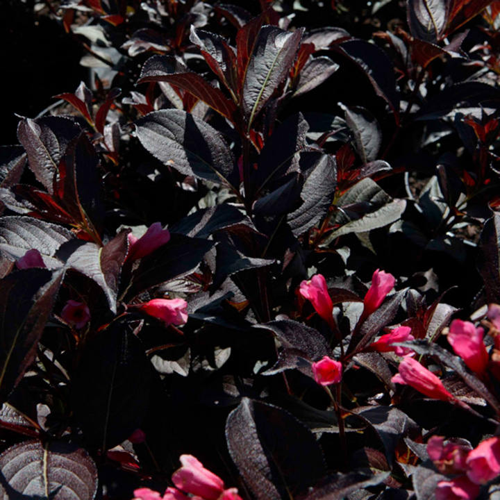 Weigela Plant - Wine and Roses (Alexandra)